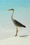 Beautiful bird. Heron on maldive beach Royalty Free Stock Images