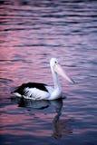 Beautiful bird. A pelican paddling at dusk Royalty Free Stock Photo