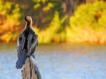 Beautiful bird Australasian darter stock photo