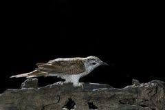 Beautiful Bird (Banded Bay Cuckoo) perching on beautiful branch Royalty Free Stock Image