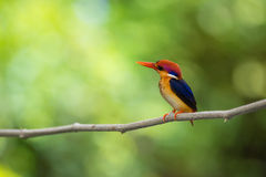 Beautiful bird Black backed Kingfisher. Stock Images