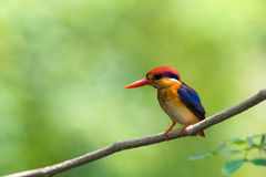 Beautiful bird Black backed Kingfisher. Royalty Free Stock Photos