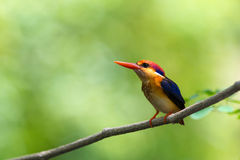 Beautiful bird Black backed Kingfisher. Royalty Free Stock Photo