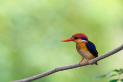 Beautiful bird Black backed Kingfisher. Royalty Free Stock Photography