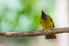 Beautiful bird Black-crested Bulbul Royalty Free Stock Photos