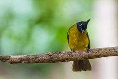 Beautiful bird Black-crested Bulbul Royalty Free Stock Image