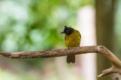 Beautiful bird Black-crested Bulbul Stock Image