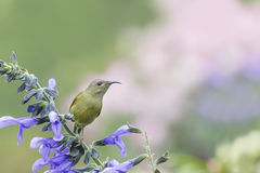 Beautiful bird (Black-throated Sunbird) Bird perching on flower Royalty Free Stock Photo