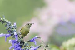 Beautiful bird (Black-throated Sunbird) Bird perching on flower Royalty Free Stock Photo