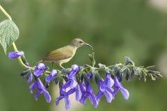 Beautiful bird (Black-throated Sunbird) perching on flower Royalty Free Stock Images