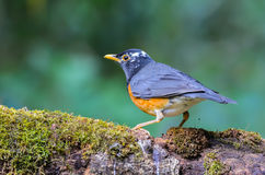 Beautiful bird on branch. Black-breasted Thrush Turdus dissimilis, A beautiful bird standing on timber at Doi Ang Khang, northern Thailand Royalty Free Stock Photography