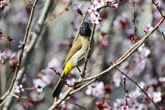 Beautiful bird bulbul Royalty Free Stock Photos