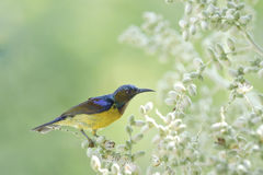 Beautiful Bird (Brown-throated sunbird) Bird suck nectar from the flowerrs Stock Photography
