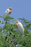 Beautiful Bird (cattle egret) perching on top of tree Royalty Free Stock Photography