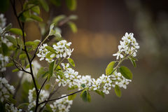 Beautiful bird cherry flowers on a natural background Royalty Free Stock Images