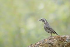 Beautiful Bird (Chestnut-bellied Rock-Thrush) perching on branch Royalty Free Stock Image