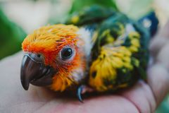 Closeup Sun Conure bird royalty free stock photography