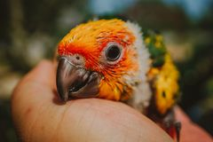Closeup Sun Conure bird royalty free stock photo