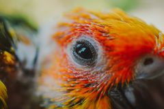 Closeup Sun Conure bird stock photography