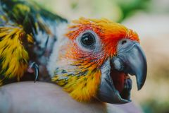 Closeup Sun Conure bird stock image