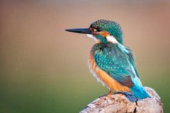 Beautiful bird - Common Kingfisher Alcedo atthis sitting on a beautiful background Stock Images