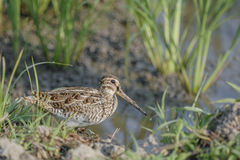 Beautiful Bird (Common Snipe) find some food on groundd Stock Image