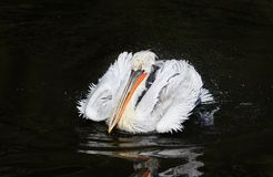 Beautiful bird Dalmatian Pelican white matter floating on the da. Rk lake spraying water drops with feathers in the Park royalty free stock images