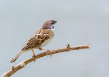 Beautiful bird. Eurasian Tree Sparrow or Passer montanus, beautiful bird on branch with gray background Stock Image