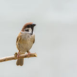 Beautiful bird. Eurasian Tree Sparrow or Passer montanus, beautiful bird on branch with gray background Royalty Free Stock Photography