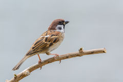 Beautiful bird. Eurasian Tree Sparrow or Passer montanus, beautiful bird on branch with gray background Stock Photography