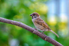 Beautiful bird. Eurasian Tree Sparrow or Passer montanus, beautiful bird on branch with green background Stock Photography