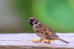 Beautiful bird. Eurasian Tree Sparrow or Passer montanus, beautiful bird on ground with green background Royalty Free Stock Photo