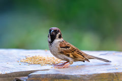 Beautiful bird. Eurasian Tree Sparrow or Passer montanus, beautiful bird on ground with green background Royalty Free Stock Photos