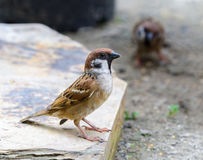 Beautiful bird. Eurasian Tree Sparrow or Passer montanus, Beautiful bird standing in nature Royalty Free Stock Image