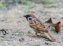 Beautiful bird. Eurasian Tree Sparrow or Passer montanus, Beautiful bird standing in nature Royalty Free Stock Photo