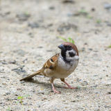 Beautiful bird. Eurasian Tree Sparrow or Passer montanus, Beautiful bird standing in nature Royalty Free Stock Images
