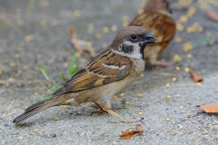Beautiful bird. Eurasian Tree Sparrow or Passer montanus, Beautiful bird was eating some food Royalty Free Stock Image
