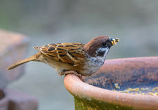 Beautiful bird. Eurasian Tree Sparrow or Passer montanus, Beautiful bird was eating some food Royalty Free Stock Photos