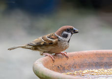 Beautiful bird. Eurasian Tree Sparrow or Passer montanus, Beautiful bird was eating some food Stock Photos
