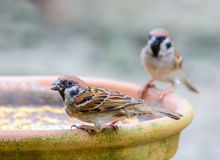Beautiful bird. Eurasian Tree Sparrow or Passer montanus, Beautiful bird was eating some food Royalty Free Stock Photo