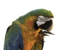 Beautiful bird feeling happy on white background. Beautiful hybrid macaw feeling on isolated background Royalty Free Stock Photo
