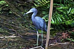 A beautiful bird in the a Florida swamp. royalty free stock photography