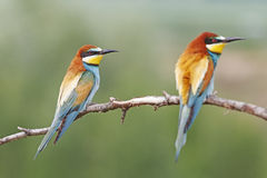 Beautiful bird girl. European bee-eater wild bird Stock Photo