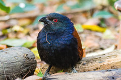 Beautiful bird greater coucal or crow pheasant (Centropus sinensis). Drink water on branch in DoiInthanon Natural Park, Chiangmai ,Thailand Royalty Free Stock Photo