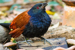 Beautiful bird greater coucal or crow pheasant (Centropus sinensis). Drink water on branch in DoiInthanon Natural Park, Chiangmai ,Thailand Royalty Free Stock Images