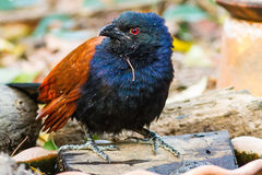 Beautiful bird greater coucal or crow pheasant (Centropus sinensis). Drink water on branch in DoiInthanon Natural Park, Chiangmai ,Thailand Stock Photos
