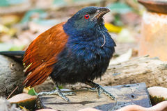 Beautiful bird greater coucal or crow pheasant (Centropus sinensis) Stock Photos