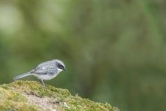 Beautiful bird (Grey Bushchat) perching on rock Stock Photo