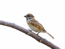 Beautiful bird isolated. Eurasian Tree Sparrow or Passer montanus, beautiful bird isolated on branch with white background Royalty Free Stock Images