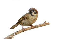 Beautiful bird isolated. Eurasian Tree Sparrow or Passer montanus, beautiful bird isolated on branch with white background Stock Images